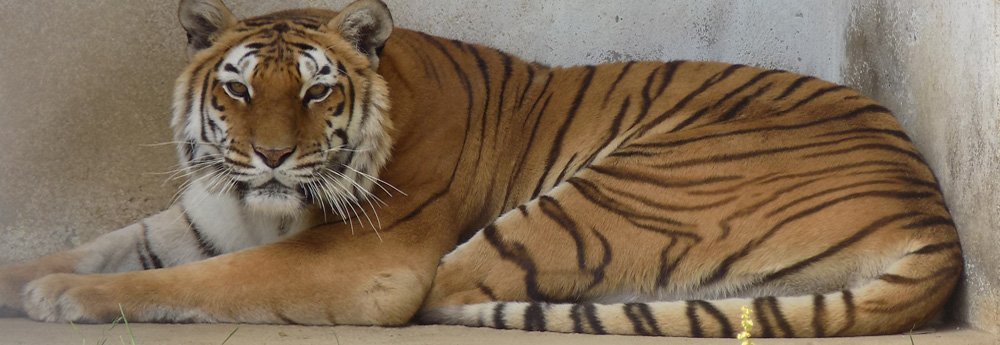 Nainital Zoo bengal tigers
